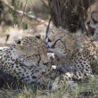 Cheetah family in Masai Mara — Stock Photo #8145587