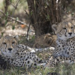 Cheetah family in Masai Mara — Stock Photo #8145616