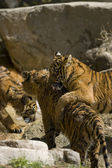 6 meses viejos tigres de sumatra juegan fighting — Foto de Stock