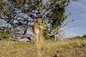 Cougar surveys the area — Stock Photo