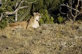 Mountain Lion sits on a rocky outcrop — Stock Photo