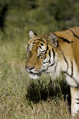 Siberian Tiger on the move — Stock Photo