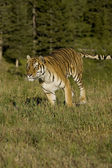 Siberian Tiger running at the edge of the woods — Stock Photo