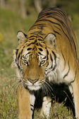 A Siberian Tiger emerges from the woodlands — Stock Photo