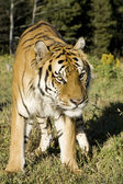 Siberian Tiger stands at the edge of the woods — Stock Photo