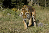 Siberian Tiger walking — Stock Photo