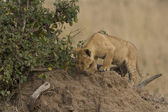 Lion cub on a termite mound in the Masai Mara - Kenya — Stock Photo