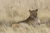 Lionesses laying down in the Masai Mara — Stock Photo