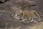 Young Lion in the Masai Mara — Stock Photo