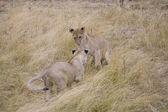Cachorros de león juegan en el masai mara — Foto de Stock