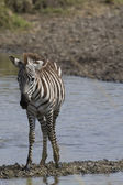 Zebra finds solid ground in the river — Stock Photo