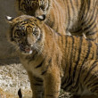6 Month old Sumatran Tigers — Stock Photo