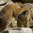6 Month old Sumatran Tigers play fighting - Stock Photo