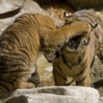 6 Month old Sumatran Tigers play fighting — Stock Photo #8184296