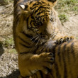 6 Month old Sumatran Tigers - Stock fotografie