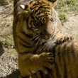 6 Month old Sumatran Tigers - Stock Photo