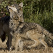 Wolves display bonding rituals — Stockfoto #8184366