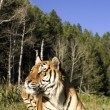 Siberian Tiger lays down by the forest edge - Stock Photo