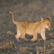 Lion cub walks across the Masai Mara - Kenya - Stock Photo