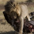 Male Lion feeds on a Wildebeest in the Masai Mara - Stock Photo