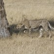 Stock Photo: Cheetah acting territorial in Masai Mara