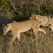 Stock Photo: Lion cub plays with lioness in Masai Mar- Kenya