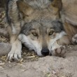 Wolf lying down - Stock Photo