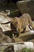 6 Месяца Суматранский тигр играть в воде — Стоковое фото