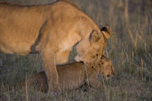 Löwe beißt ihr Jungtier in der Masai Mara - Kenia — Stockfoto