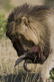Male Lion feeds on a Wildebeest in the Masai Mara — Stock Photo