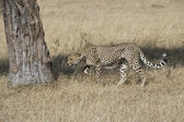 Cheetah acting territorial in the Masai Mara — Stock Photo