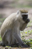 Vervet Monkey forages on the floor — Stock Photo