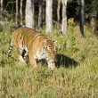 SiberiTiger emerges from woodlands — Stock Photo #8216266