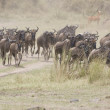 Постер, плакат: Wildebeest running towards the river on migration