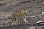 Lion cub walks across the Masai Mara - Kenya — Stock Photo