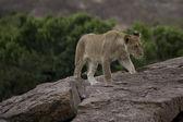 Young male Lion in the Masai Mara — Stock Photo