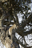 Leopard relaxing in a tree in the Masai Mara — Stock Photo