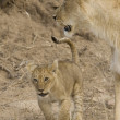 Lioness and cub in the Masai Mara - Kenya - Stock Photo