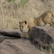 Stock Photo: Young Lion in Masai Mara