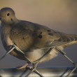 Mourning Dove in Tucson Arizona — Stock Photo