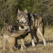 Stock Photo: Wolves display bonding rituals