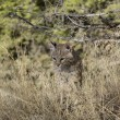 Stock Photo: Bobcat kitten in woods