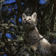 Stock Photo: Bobcat kitten gets stuck in tree