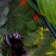 Rainbow Lorikeet in captivity — Stock Photo