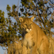Stock Photo: Mountain Lion sits on rocky outcrop