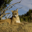 Mountain Lion sits on a rocky outcrop — Stock Photo