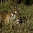 Siberian Tiger appears at the edge of the woods - Stock Photo