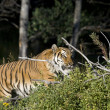 Siberian Tiger investigates fallen wood — Stock Photo
