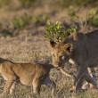 Stock Photo: Lioness bites her cub in Masai Mar- Kenya