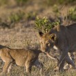 Lioness bites her cub in Masai Mar- Kenya — Stock Photo #8275918